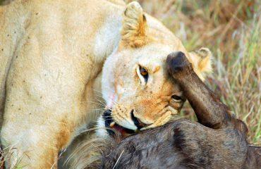 Leeuwin met wildebeest