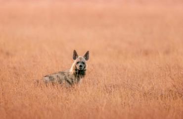gestreepte hyena Phen WIldlife Sanctuary