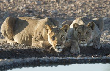 leeuwen bij Etosha © Ongava