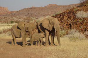 Ozondjou, woestijnolifanten safari