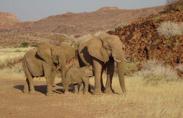Woestijnolifanten Damaraland met dank aan mevr. van Wijngaarden