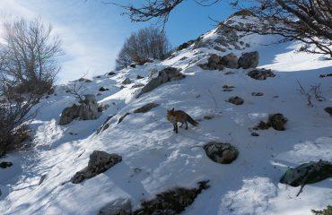 Vos in de sneeuw Abruzzo NP