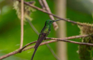 kolibri bij Mashpi Lodge