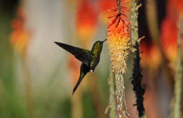 kolibri Chilcabamba ©All for Nature Trave