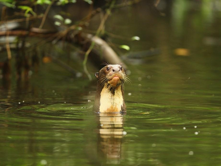 Reuzenotters, Napo Wildlife Center, Yasuni, reis Ecuador