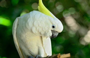 Kaketoe Komodo
