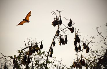 Flying Foxes Komodo NP