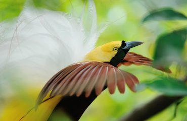 bird of paradise dancing
