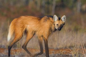 Manenwolf, maned wolf, cerrado, safari Brazilie, brazilie wildlife, Pousada Trijuncao