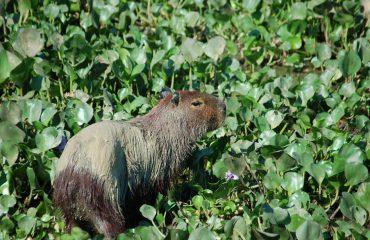 capibara reis2011 041
