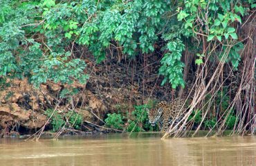 jaguar pantanal ©All for Nature Travel