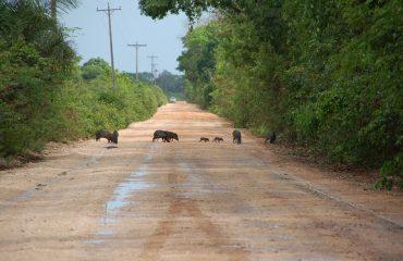 pekaris op de weg