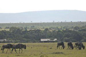 Saruni Wild Masai Mara, safari masai mara , safari migration