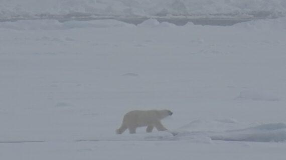 ijsbeer bij Spitsbergen