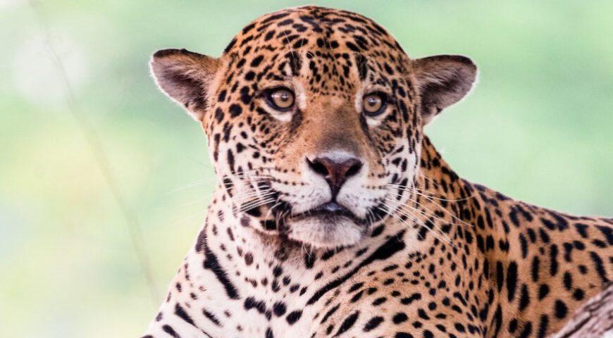 jaguar lichtgroene ogen ©Noel van Bemmel