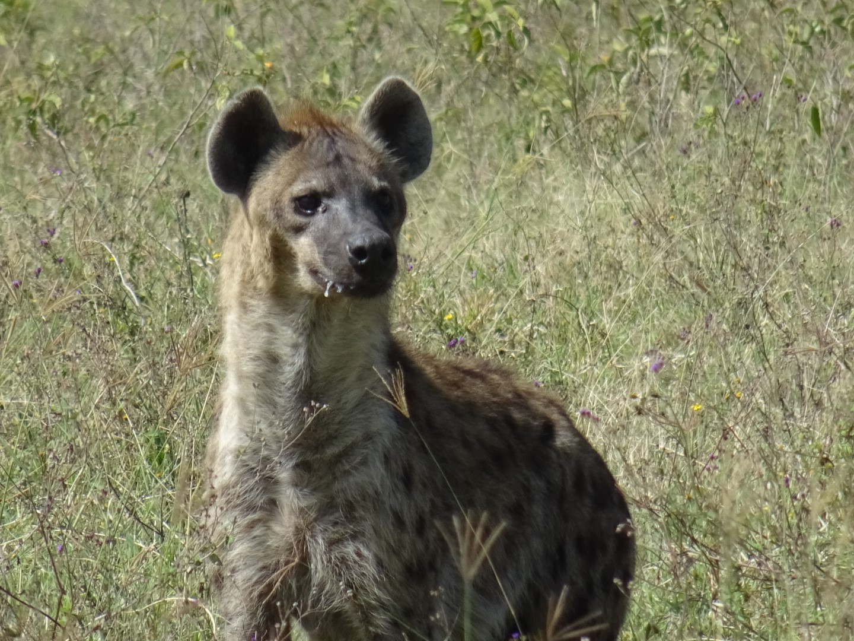 hyena Kenia
