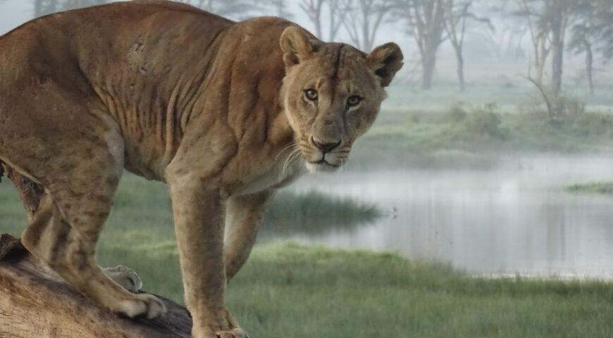 leeuw Kenia