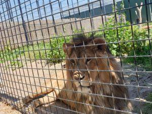 leeuwenopvang Stichting Leeuw