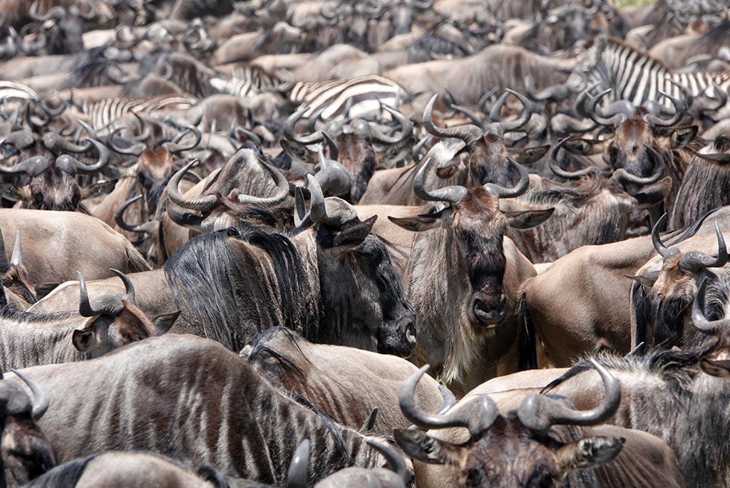 migratie, tanzania, serengeti, corona, covid19
