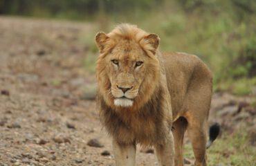 Leeuw langs de weg Kruger ©All for Nature Travel