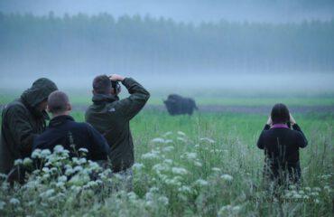 Wisent watching Bialowieza NP ©PTTK