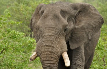 olifant Kruger ©All for Nature Travel