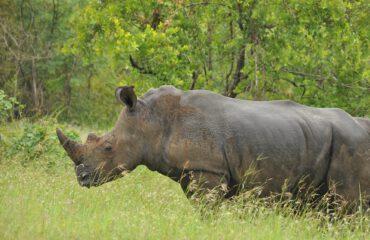 witte neushoorn in de regen Kruger ©All for Nature Travel
