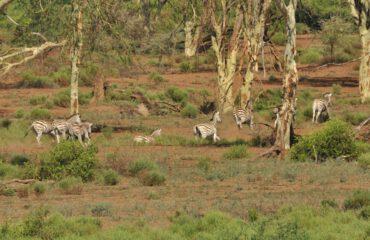zebra's tijdens wandelsafari Pafuri ©All for Nature Travel