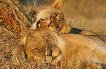 Leeuwen op game drive bij Planet Baobab