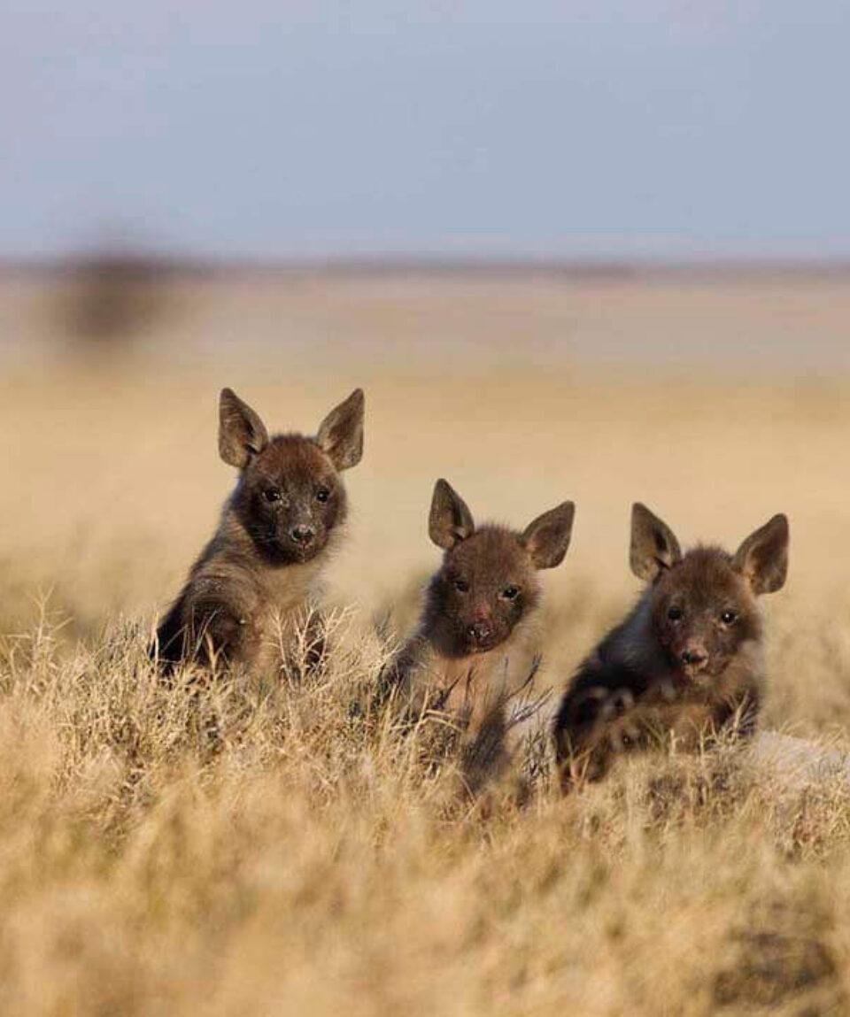 Bruine hyena jongen in de Mgadigkadi Pans