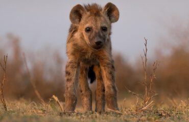 Hyena jong Liuwa Plains ©J & M Safaris