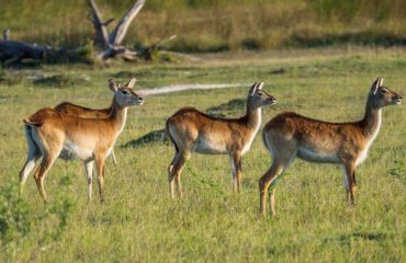 Lechwe in Mapula Reserve