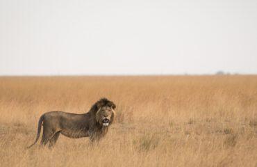 Leeuw Liuwa Plains ©J & M Safaris