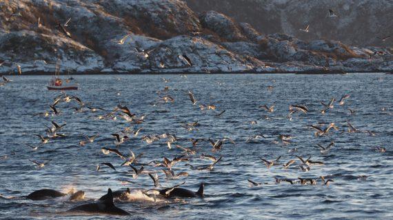Orkas haringtrek Noord-Noorwegen ©Christian Engelke