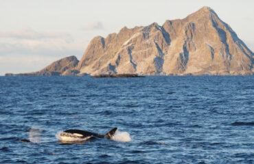 Orka © Christian Engelke Noord Noorwegen