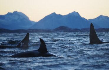 Orkas Noord Noorwegen ©Christian Engelke