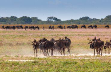 Wildebeestmigratie Liuwa Plains