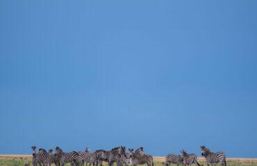 Zebras Liuwa Plains