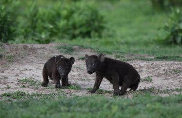 baby hyena puppies met dank aan Dhr. Beets