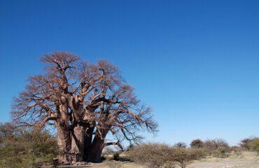 Baobab Makgadikgadi Pans ©All for Nature Travel