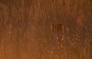 Cheeta Liuwa Plain ©J&M Safaris