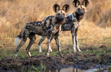 wilde honden bij Hyena Pan