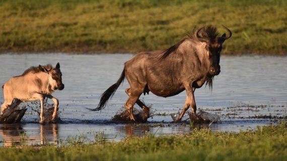 wildebeest Liuwa met dank aan Dhr Beets