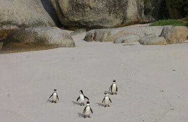 Afrikaanse pinguins ©Stichting Rugvin