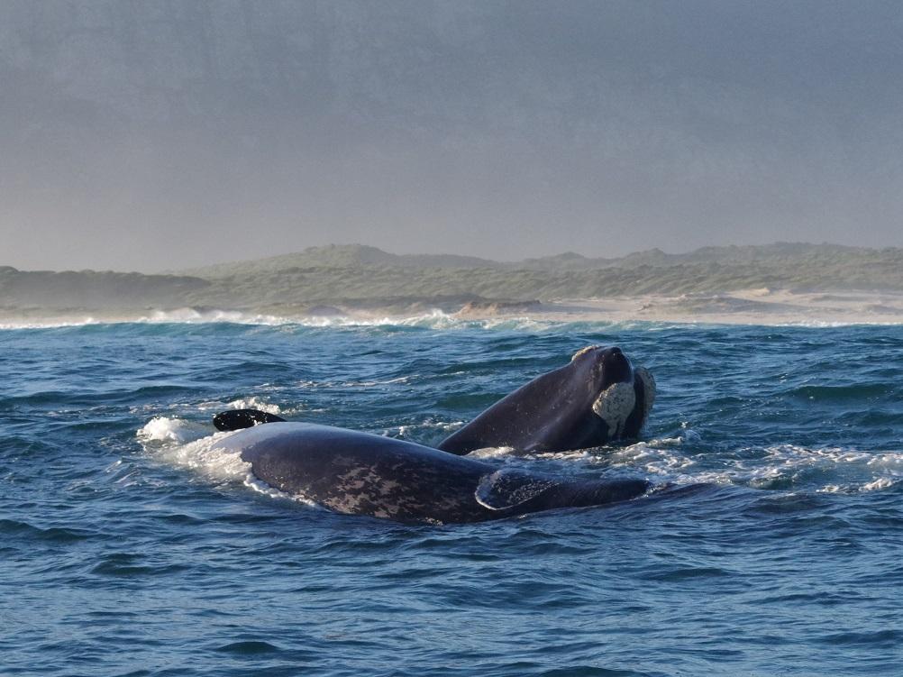 whale watching Zuid-Afrika, reis walvissen, walvisexcursie Hermanus