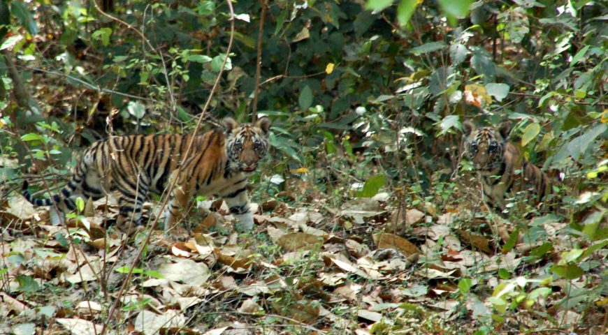 tijgerwelpen in Kanha NP ©All for Nature Travel