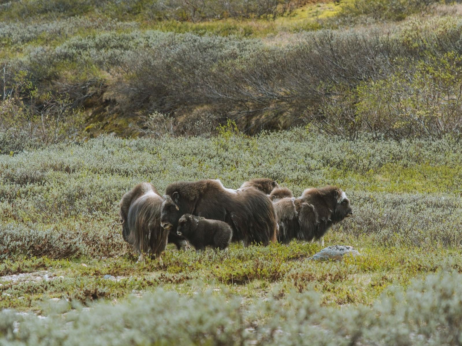 muskusos safari Noorwegen