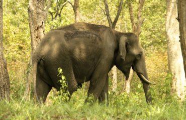 Aziatische olifant Chinnar Sanctuary