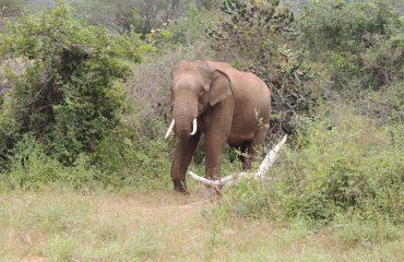 Asiatic Elephant Mudumalai National Park