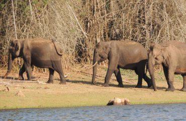 Asiatic Elephant Elephas maximus Nargarhole National Park